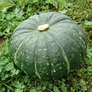 【予約受付中】無農薬栽培北海道産特農こふき5.6かぼちゃ5kg粉質で甘みがよく感じられ食味が良い【送料無料】