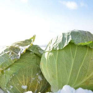 北海道剣淵町産雪の下キャベツ10kg甘みと歯応えがよく優しい味【送料無料】