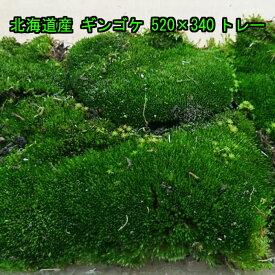 北海道産 ギンゴケ 520×340トレー