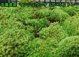 北海道産 マンジュウコケ 520×340トレー