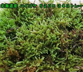 北海道産 ハイゴケ 520×340トレー