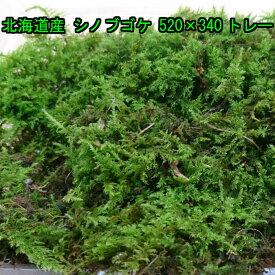 北海道産 シノブゴケ 520×340トレー