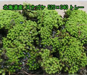 北海道産 スナゴケ 520×340トレー