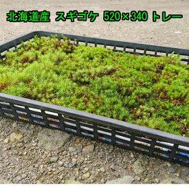 北海道産 スギゴケ 520×340トレー