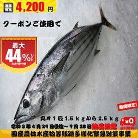期間限定(7月28日(水)納品迄)クーポンご使用で値引き 春カツオ カツオ 鰹 ミシュランのお店でもご使用 1本釣り 1匹約1.5kgから2.5kg 鹿児島県産 送料無料 鮮魚 贅沢 グルメ 北海道、沖縄は1000円加算し、ご請求。お試し おかず セット 丸々1匹 インスタ映え 税込み