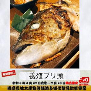 【冷凍】養殖ぶり頭(加熱用)2個入り×2袋セット(加熱用) 鹿児島県産 送料無料 北海道、沖縄は1000円加算し、ご請求致します。