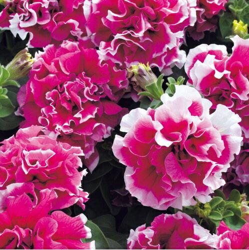 【100円均一】八重咲きペチュニア ピロエット ローズ(花なし苗) 毎年咲く強いペチュニア!