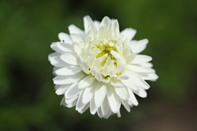 【当店農場生産】ハーブ 八重咲きローマンカモミール苗 9センチポット苗 お料理に♪
