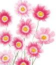 【当店農場生産】コスモス ハッピーリング(苗)9センチポット苗 鉢植えの栽培にも最適♪