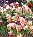 【当店農場生産】ビオラ なごみももか しんしん(花つき苗) 9センチポット苗 花壇や寄せ植えに♪