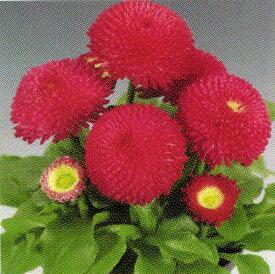 【100円均一】デージー・タッソー ディープローズ 9センチポット苗 中輪ポンポン咲きの花が咲きます♪