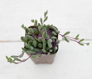 【当店農場生産】多肉植物 ルビーネックレス 7.5センチポット