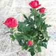 ミニバラC・ポレッタ(赤色)10.5センチポット苗(3.5寸苗)☆寄せ植えの素材に最適♪