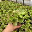 サニーレタス9センチポット苗長く収穫できます。サラダに!