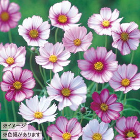 【100円均一】コスモス ピコティ(苗)9センチポット苗 鉢植えの栽培にも最適♪