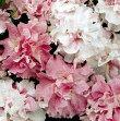 【100円均一】八重咲きペチュニアダブルカスケードオーキッドミスト毎年咲く強いペチュニア!耐寒性宿根草♪