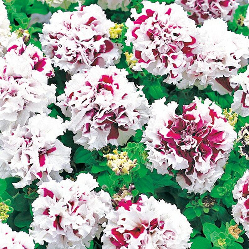 【100円均一】八重咲きペチュニア ピロエット パープル(花なし苗) 毎年咲く強いペチュニア!耐寒性宿根草♪