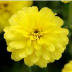 【当店農場生産】ジニア ダブルザハラ イエロー 9センチポット苗 かわいいお花が咲きます♪