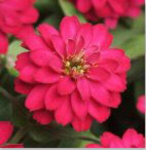 【当店農場生産】ジニア ダブルザハラ チェリー 9センチポット苗 かわいいお花が咲きます♪