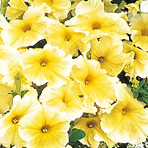【100円均一】ペチュニア プリズムサンシャイン(花なし苗) 毎年咲く強いペチュニア!