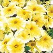 【100円均一】ペチュニアプリズムサンシャイン(花なし苗)毎年咲く強いペチュニア!