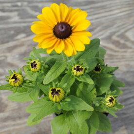 【当店農場生産】ルドベキア トトゴールド 9センチポット苗 毎年咲く耐寒性宿根草