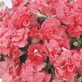 【100円均一】八重咲きペチュニア デュオサティピンク(花なし苗) 毎年咲く強いペチュニア!耐寒性宿根草♪
