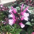 【当店農場生産】チェリーセージライトピンク9センチポット耐寒性宿根草で毎年咲く♪