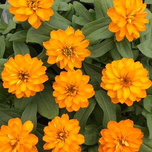【当店農場生産】ジニア ダブルザハラ ブライトオレンジ 9センチポット苗 かわいいお花が咲きます♪