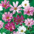 【100円均一】コスモスシーシェルミックス(苗)9センチポット苗鉢植えの栽培にも最適♪