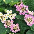 【当店農場生産】ランタナライトピンク9センチポット苗夏に強いお花です☆