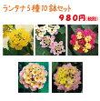 【当店農場生産】ランタナ5種10鉢セット☆夏に強いお花です。