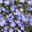 【当店農場生産】ベロニカ オックスフォード 9センチポット苗 宿根草 たくさんの花が咲きます♪