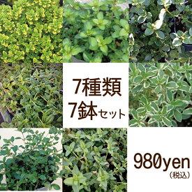 【当店農場生産】タイム 7種類7鉢セット☆繁殖力旺盛なタイム♪グランドカバーに!