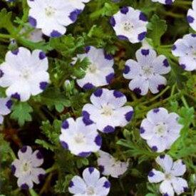 【当店農場生産】ネモフィラ ファイブスポット(マクラタ) 9センチポット苗 寒さに強い!可愛いお花です♪
