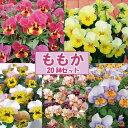 【当店農場生産】1ポット79円!人気品種◎ビオラ・ももか5種類20鉢セット