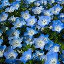 【当店農場生産】ネモフィラ ブルー 9センチポット苗 寒さに強い!可愛いお花です♪