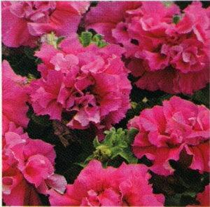 【当店農場生産】八重咲きペチュニア ダブルカスケード ピンク(花なし苗) 9センチポット苗 毎年咲く強いペチュニア!耐寒性宿根草♪