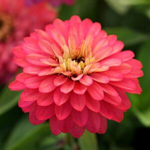 【当店農場生産】ジニア ダブルザハラ サーモン 9センチポット苗 かわいいお花が咲きます♪