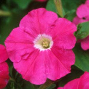 【当店農場生産】耐暑ペチュニア カーペット ローズ(花なし苗) 9センチポット苗 毎年咲く強いペチュニア!