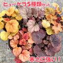 【当店農場生産】ヒューケラ ドルチェ 5種類セット PW 寒さに超強い!