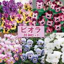 【当店農場生産】人気品種◎変わり咲きビオラ・パンジー5種類20鉢セット