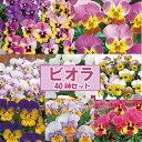 【当店農場生産】送料無料!人気品種◎変わり咲きビオラ・パンジー8種類40鉢セット