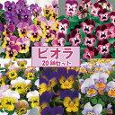 【当店農場生産】人気品種◎変わり咲きビオラ・パンジー5種類20鉢セット(とんとん/いるか/おまつり/るびー/ゴールデ…
