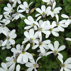 【当店農場生産】プラティア・アングラータ 9センチポット苗 宿根草 一面に白い花が咲きます♪