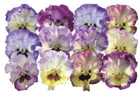 【当店農場生産】パンジー 夢見るパンジー れいんぼーしぇーど(花なし苗) 9センチポット苗 花壇や寄せ植えに♪