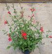 チェリーセージ(ホットリップ)9センチポットハーブ苗耐寒性宿根草で毎年咲く♪
