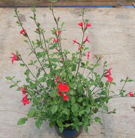 【当店農場生産】チェリーセージ ホットリップ 9センチポット 耐寒性宿根草で毎年咲く♪