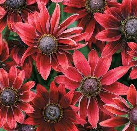 【当店農場生産】ルドベキア チェリーブランディ 9センチポット苗 赤茶色の花を咲かせ珍しい☆耐寒性宿根草