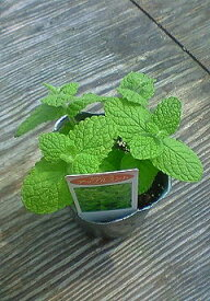 【当店農場生産】アップルミント 9センチポット苗 繁殖力旺盛なハーブ
